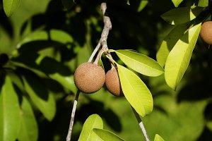 Sapodilla fruit on tree