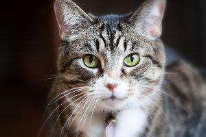 Direct Stare Cat