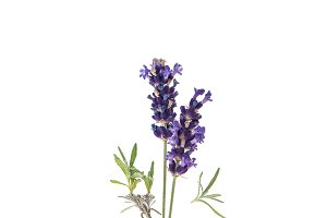 Lavender flowers twig over white