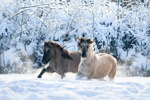 wild horses run free in frosty fores