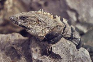 Close-up of a gray iguana