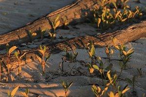 Mangroves emerging in the sand