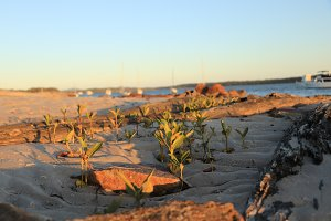 Mangroves emerging on the beach