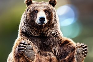 gracefully seated bear