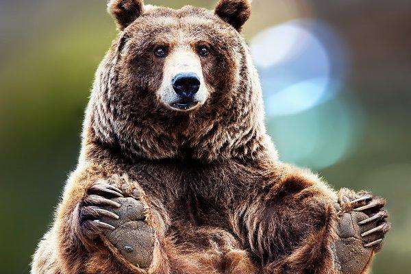 Animal Stock Photos: Perpis - gracefully seated bear