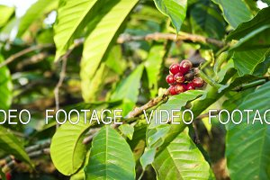coffee berries on branch