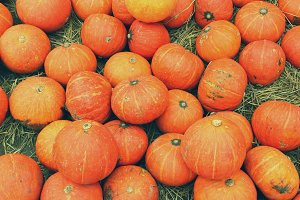 Many fresh pumpkins in farmland