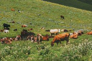 Cows farming in mountain valley