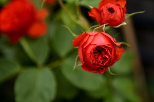 Beautiful roses in garden for Valent