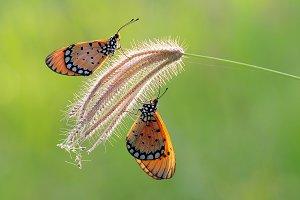 Butterflies Perch on Flowers