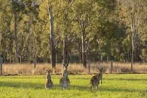 Kangaroos in the countryside