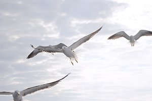 Seagulls flying in the morning sky