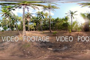 palm grove in asia vr360