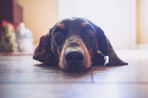 Dachshund Dog Resting on Floor