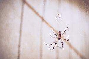 Large Spider Hangs in Her Web