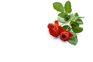 beautiful red roses and leaves