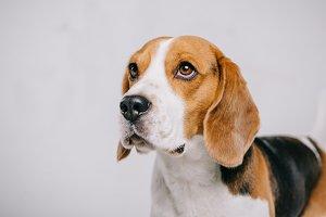 Adorable beagle dog