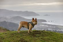 Frenchi looking at coastal views by  in Animals