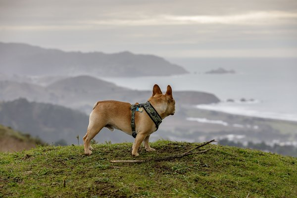Animal Stock Photos: Yuval Helfman Photography - Frenchi looking at coastal views