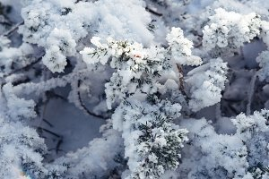 Branch of pine tree in snow
