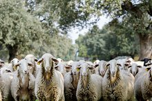 Flock of sheep grazing by  in Animals