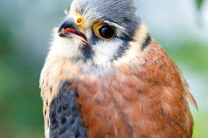 Beautiful profile of a kestrel in th