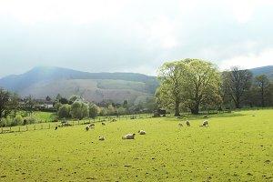 Landscape Hills, trees field & Sheep