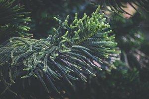 Leaves of Norfolk pine tree II