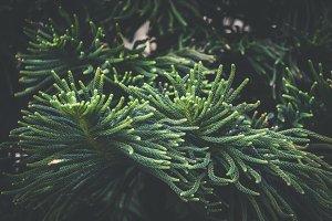 Leaves of Norfolk pine tree III