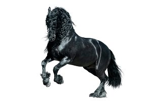 friesian horse woth long mane isolat