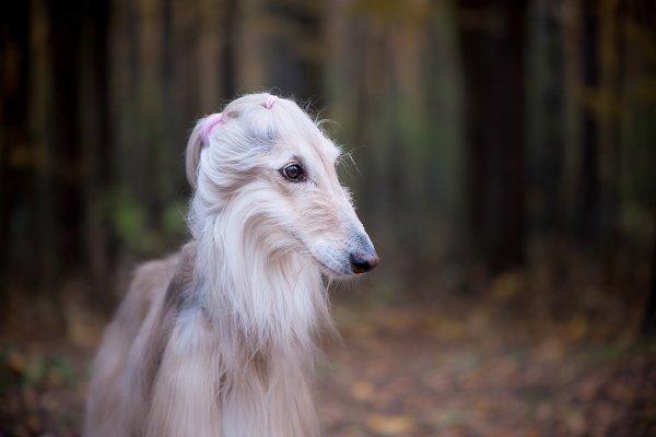 Animal Stock Photos: Wildstrawberry Magic - Dog, gorgeous Afghan hound