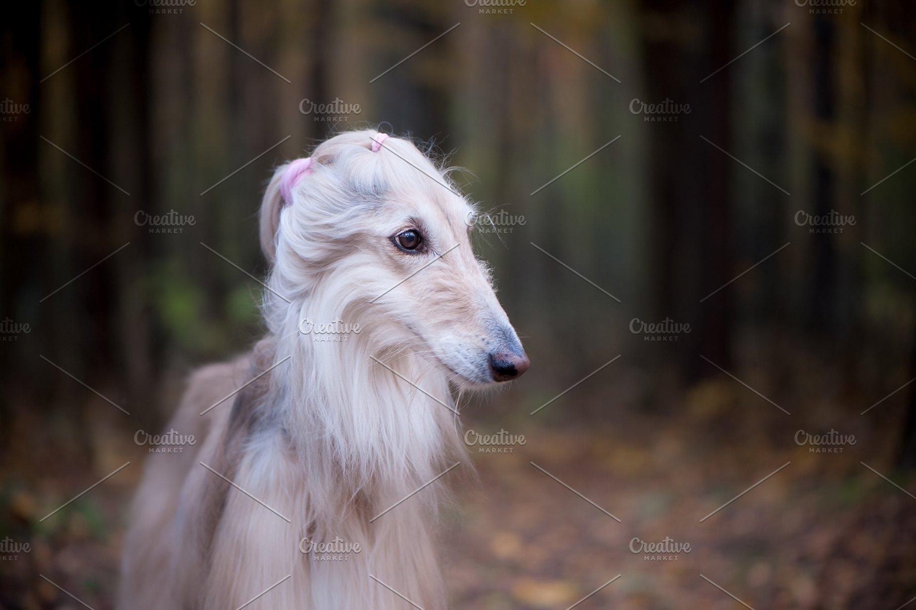 Dog, gorgeous Afghan hound