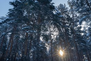 Pine forest in winter sunny day