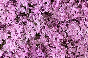 Purple lilac flowers texture