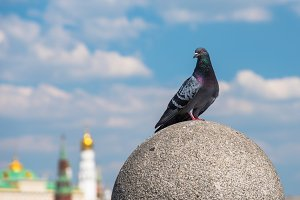 pigeon on background of the sky