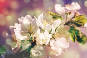 Spring blossoms apple tree in sunny