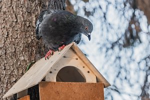 A gray pigeon with rainbow neck and