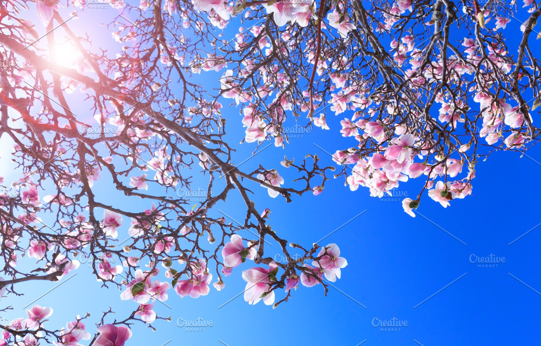 Magnolia Tree With Purple Flowers High Quality Nature Stock