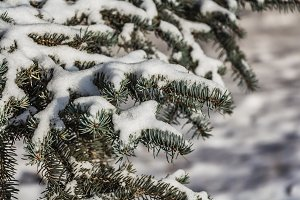 A branch of blue fir tree with white