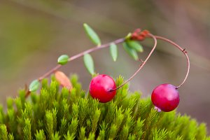 Berry cranberries on moss