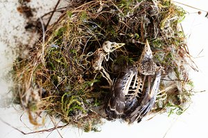 Bird Skeletons in Nest