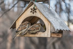 A pair of gray and brown sparrows