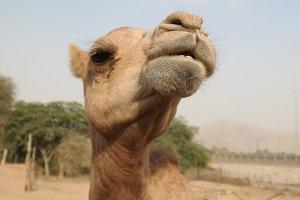 Portrait of funny camel head, Sharja