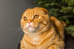 Scottish Fold red cat portrait