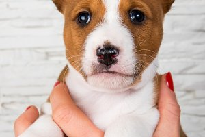 Funny Basenji puppy dog on the hands