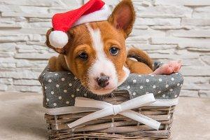 Funny Basenji puppy dog in santa hat