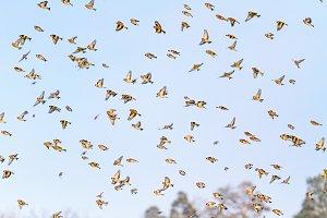 flock of singing birds flying