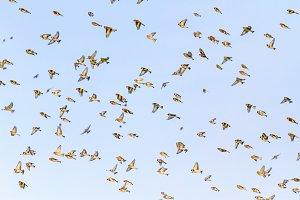 singing birds flying open wings