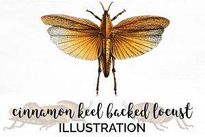 Locust Cinnamon Keel-Backed Vintage