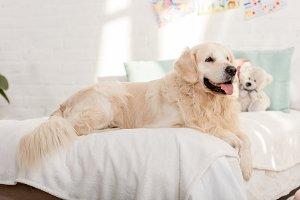 golden retriever dog lying on bed in